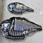 Hatchetfish. 📷 Svenja Halfter
