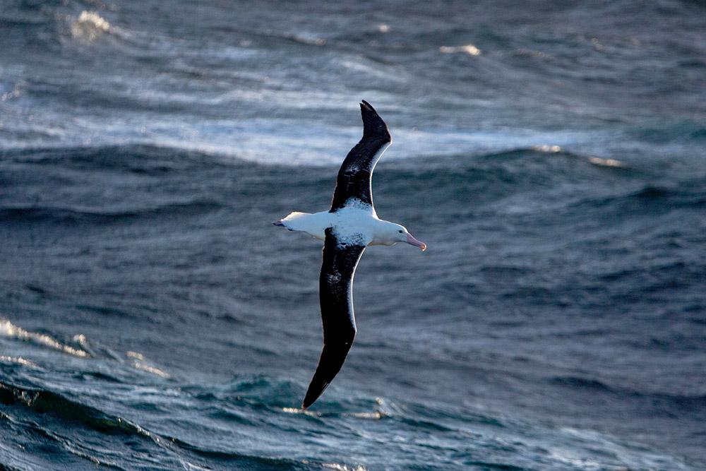 A wandering albatross. 📷 Jakob Weis
