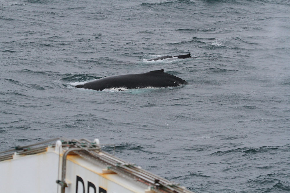 A humpback whale and calf check out the ship. Photo: Jez Bird
