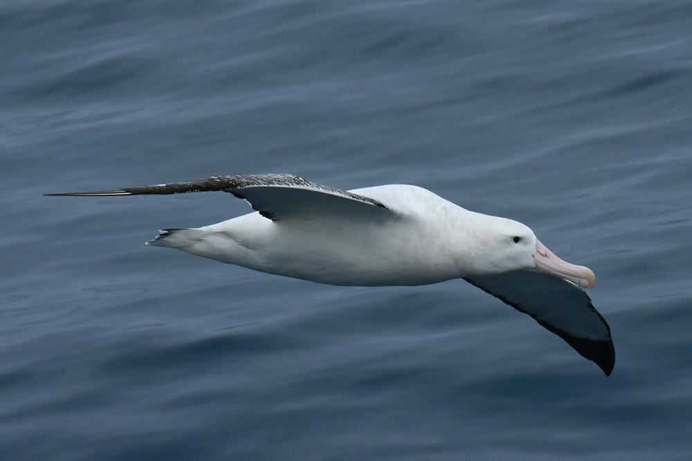 Predator observer Angus Henderson took this close-up of a wandering Albatross.